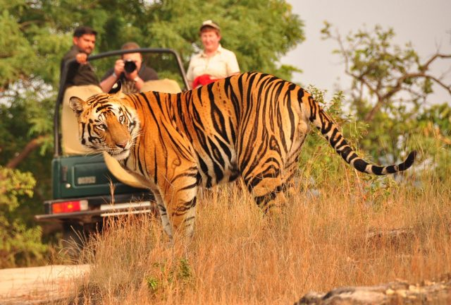 north india, tiger safari